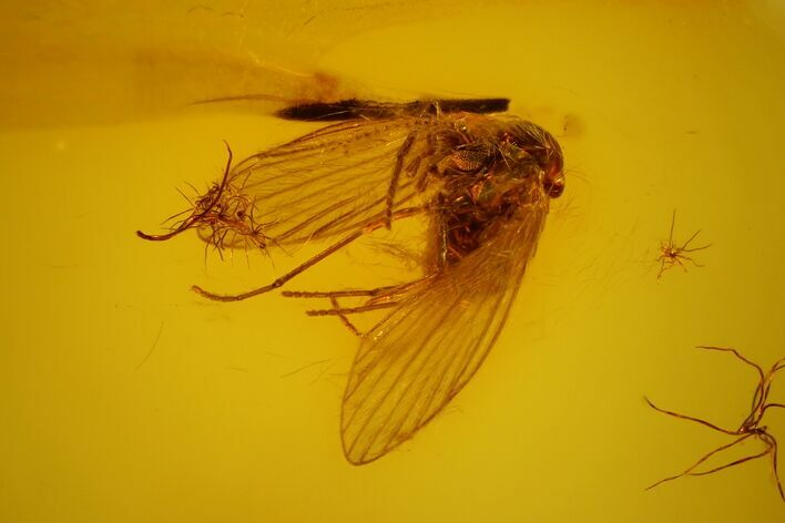 Fossil Moth Fly (Psychodidae) In Baltic Amber