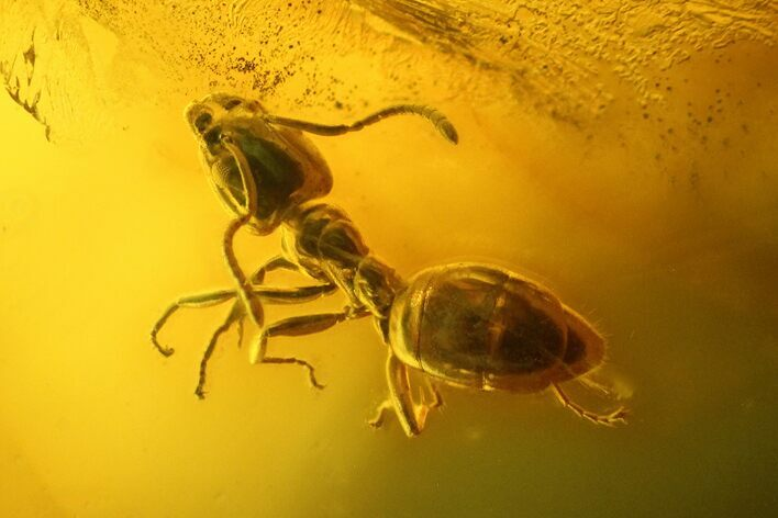Detailed Fossil Ant (Formicidae) & Flies (Diptera) In Baltic Amber