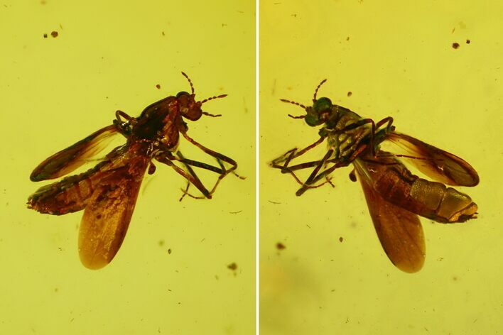 Fossil Fly (Diptera) In Baltic Amber - Jewelry Quality