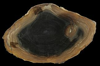 "5.5"" Polished Petrified Wood Round - Sweethome, Oregon For Sale, #128592"