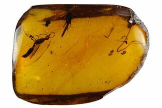 Buy Fossil Wasp & Cockroach Leg In Amber - Myanmar - #128938