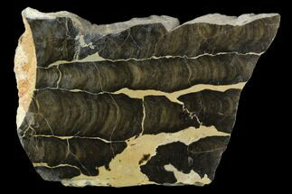 "Buy 5.7"" Polished Stromatolite (Boxonia) From Australia - 800 Million Years - #129151"