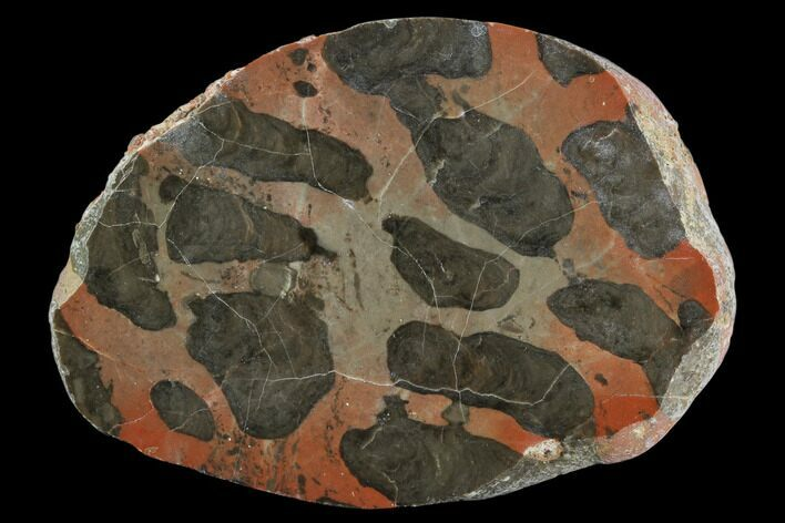 "4"" Polished Linella Avis Stromatolite Section - 800 Million Years"