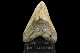 "Huge, 5.61"" Fossil Megalodon Tooth - North Carolina For Sale, #124460"