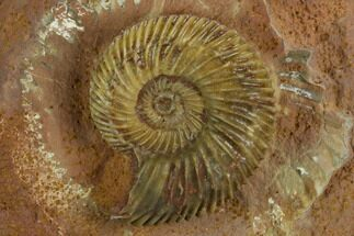 "1.55"" Jurassic Ammonite (Parkinsonia) Fossil - Sengenthal, Germany For Sale, #129413"