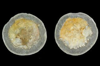 "Buy 4.3"" Fossil Crab (Trichopeltarion) Nodule (Pos/Neg) - New Zealand - #129394"