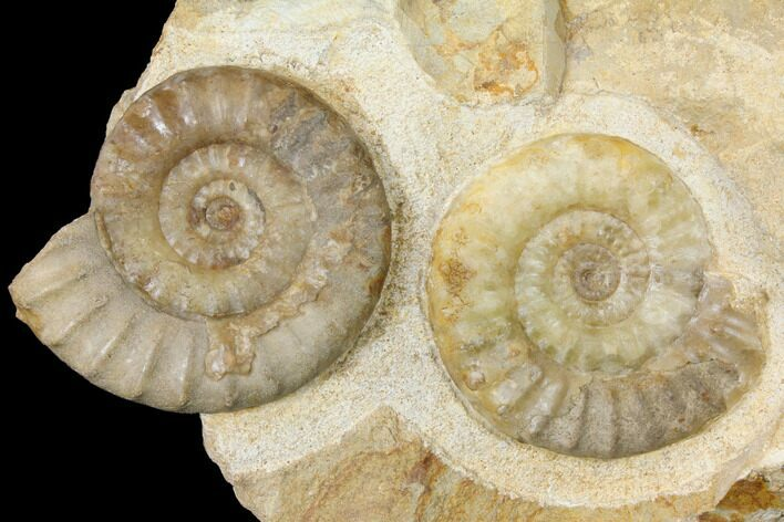 "8.6"" Plate with Ammonite (Acanthopleuroeras) Fossils - Dorset, England"