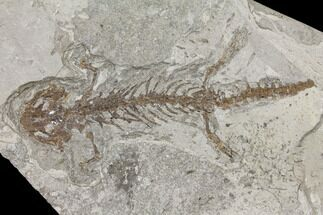 Chelotriton paradoxus - Fossils For Sale - #129420
