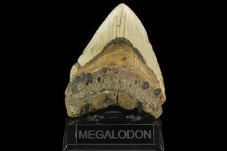 Carcharocles megalodon - Fossils For Sale - #124968