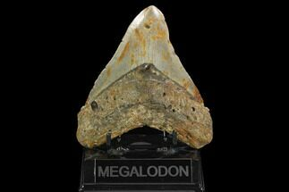 Carcharocles megalodon - Fossils For Sale - #124974