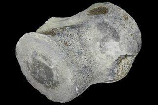 "4.8"" Fossil Whale Vertebra - Yorktown Formation For Sale, #129567"
