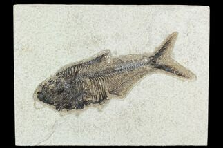 "6.2"" Fossil Fish (Diplomystus) - Green River Formation For Sale, #129548"