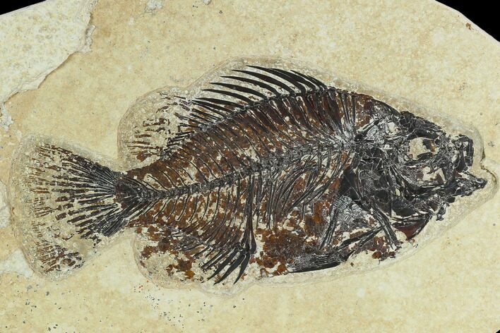"4.6"" Fossil Fish (Cockerellites) - Green River Formation"