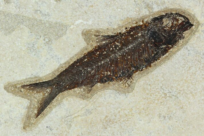 "4.5"" Fossil Fish (Knightia) - Green River Formation"