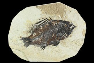"Bargain 5.1"" Fossil Fish (Cockerellites) - Green River Formation For Sale, #129629"