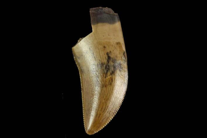 "Serrated, .72"" Theropod Tooth - Judith River Formation"