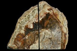 Araucaria (Conifer) - Fossils For Sale - #129933