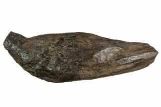 "3.6"" Fossil Sperm Whale (Scaldicetus) Tooth For Sale, #130184"