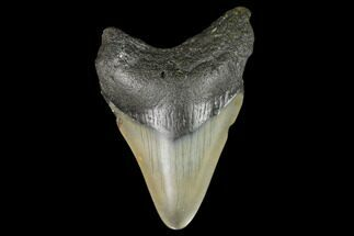 "Bargain, 3.47"" Fossil Megalodon Tooth - North Carolina For Sale, #129965"
