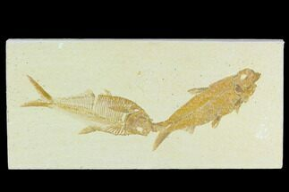 "3.8"" Diplomystus With Knightia Fossil Fish - Green River Formation For Sale, #130220"
