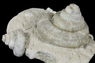 "Buy 4.2"" Plate of Gastropod (Euomphalus & Loxonema) Fossils - Iowa - #130297"