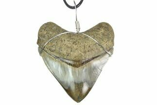 "Buy 2.75"" Fossil Megalodon Tooth Necklace - #130387"