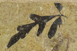 "1.8"" Fossil Balloon Vine (Cardiospermum) Leaf - Utah For Sale, #130268"