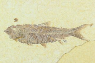 "3.3"" Fossil Fish (Knightia) - Green River Formation For Sale, #130325"