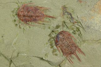 Two Red Lehua Trilobites - Fezouata Formation For Sale, #130403