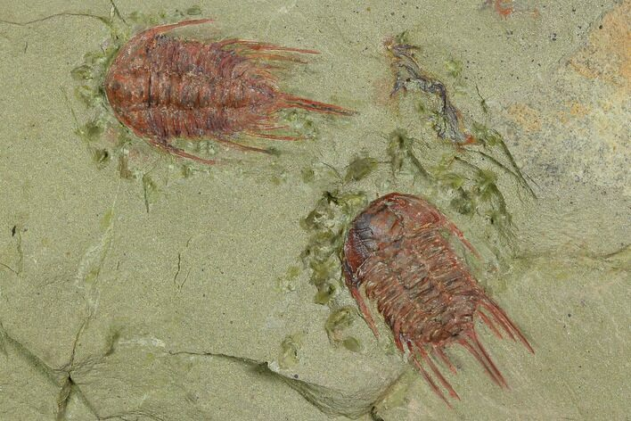 Two Red Lehua Trilobites - Fezouata Formation