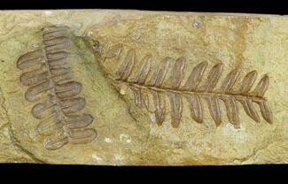 Buy Pennsylvanian Seed Fern (Alethopteris) Fossil - Kansas - #130261