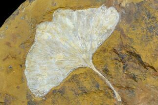 "Top Quality, 4"" Fossil Ginkgo Leaf From North Dakota - Paleocene For Sale, #130433"
