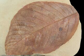 "Buy Large, 6.4"" Red Fossil Leaf (Phyllites) - Montana - #130450"