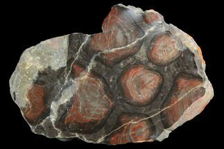 "4.1"" Polished Stromatolite (Inzeria) Section - 800 Million Years For Sale, #130661"