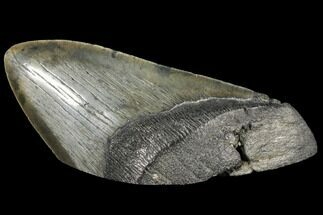 "Buy 5.49"" Fossil Megalodon Tooth ""Paper Weight"" - #130861"