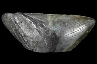 "5.28"" Fossil Megalodon Tooth ""Paper Weight"" For Sale, #130862"