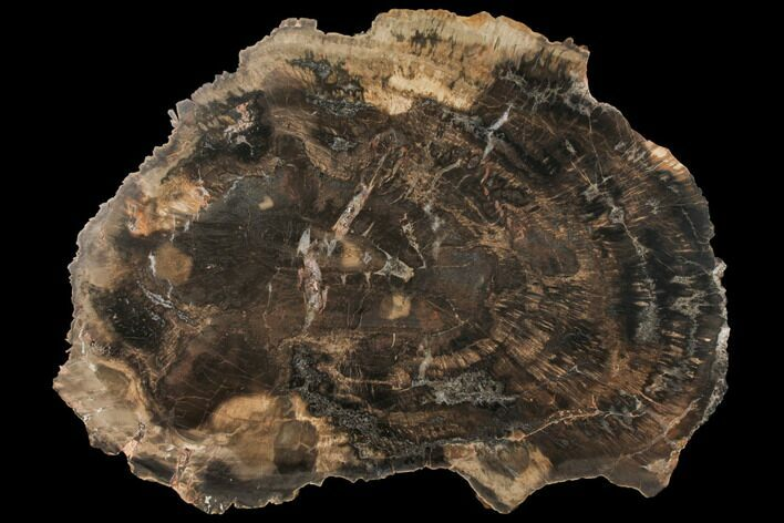 "13.5"" Petrified Wood (Woodworthia) Round - Arizona"