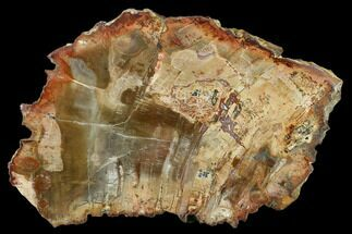 "Buy 5.7"" Petrified Wood (Araucaria) Slab - Madagascar  - #131422"