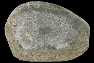 "7.2"" Pyritized, Polished Iguanodon Bone - Isle Of Wight For Sale, #131210"