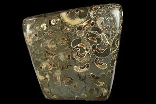 "3.3"" Polished Ammonite (Promicroceras) Slab - ""Marston Magna Marble"" For Sale, #131996"