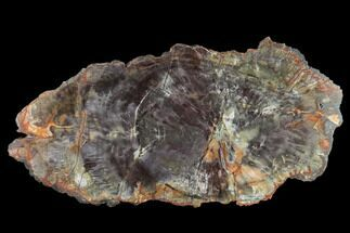 "Buy 11.8"" Polished Petrified Wood Round - Arizona - #132244"