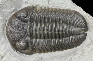 Eldredgeops rana crassituberculata - Fossils For Sale - #132429