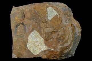 Fossil Ginkgo Leaves From North Dakota - Paleocene For Sale, #132551
