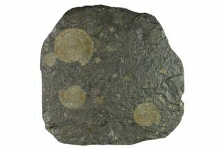 "9.6"" Ammonite Cluster (Dactylioceras) - Germany For Sale, #133271"