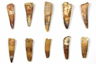 "Buy Wholesale Lot: 1.9 to 2.9"" Bargain Spinosaurus Teeth - 10 Pieces - #133381"