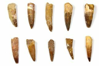 "Buy Wholesale Lot: 1.8 to 2.4"" Bargain Spinosaurus Teeth - 10 Pieces - #133393"