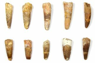 "Buy Wholesale Lot: 1.6 to 2.3"" Bargain Spinosaurus Teeth - 10 Pieces - #133414"