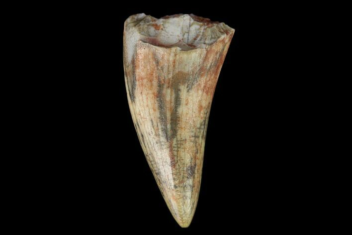 ".78"" Fossil Phytosaur Tooth - New Mexico"