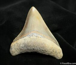 Buy Beautifully Serrated 2 1/2 Inch Megalodon Tooth - #1531