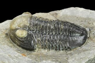 "Buy .95"" Detailed Gerastos Trilobite Fossil - Morocco - #134062"